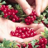 Red Pear Lingonberry
