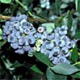 Reveille Blueberry