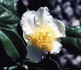 Tea Breeze Tea Plant
