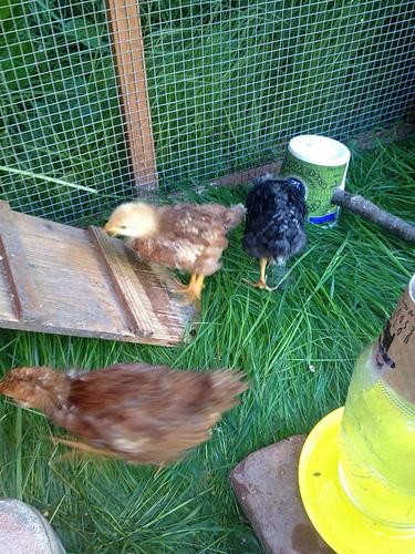 Pullets running around the chicken coop